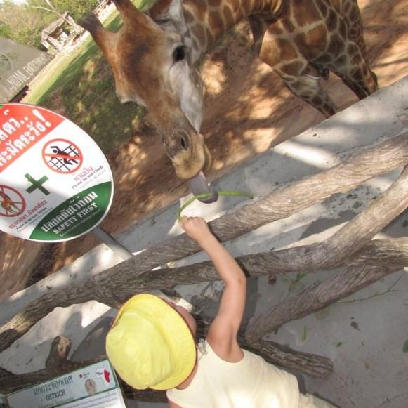 Зоопарк Кхао Кхео жирафы