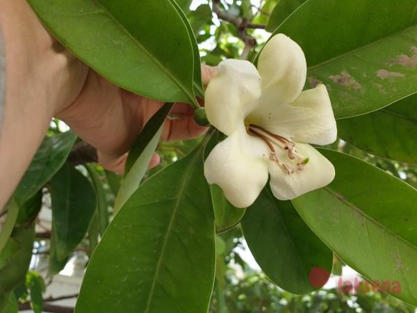 Фагрея цейлонская (Fagraea ceilanica, Perfume Flower Tree) цветы таиланда