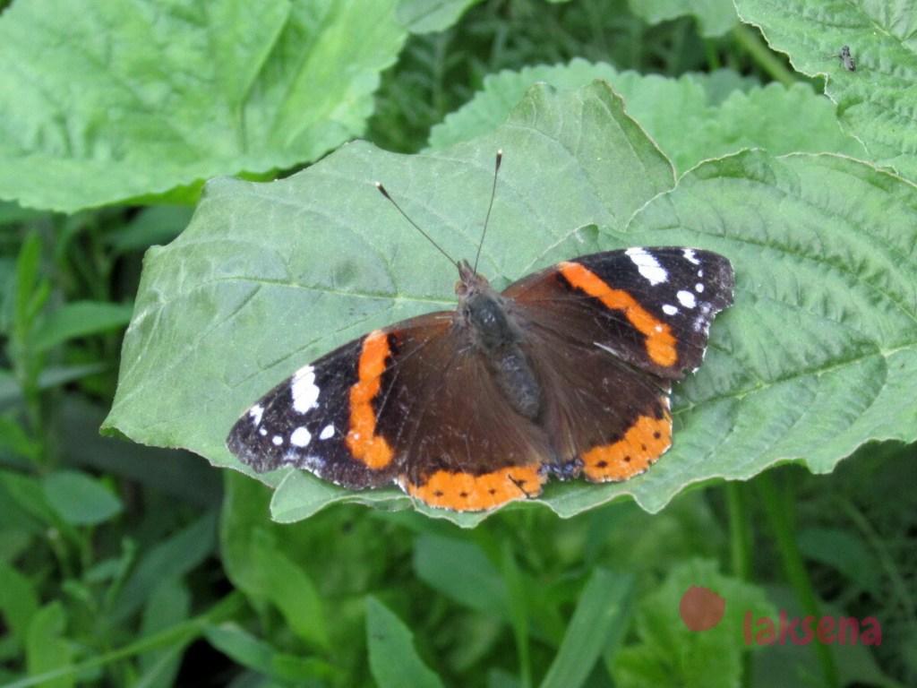 сибирские бабочки адмирал