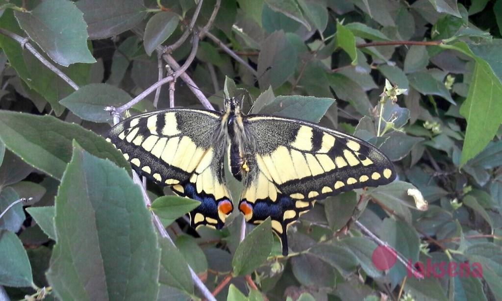 бабочки сибири махаон