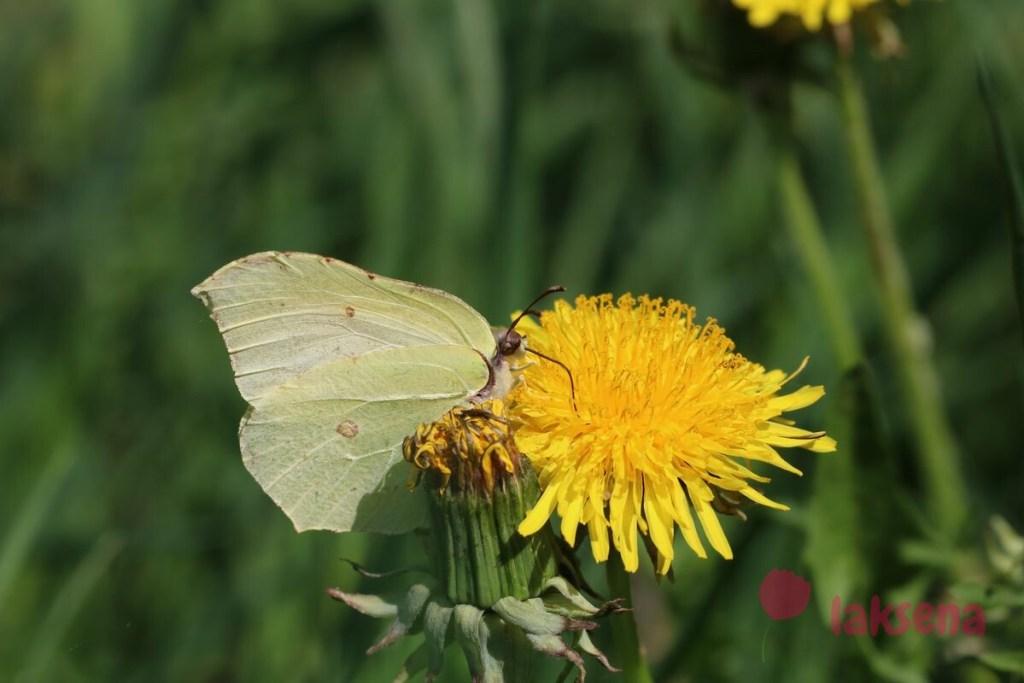 бабочка лимонница новвосибирская область