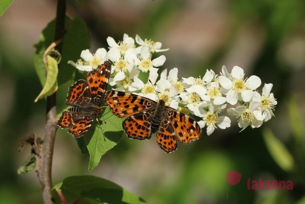 Пестрокрыльница изменчивая, весенняя форма бабочки сибири