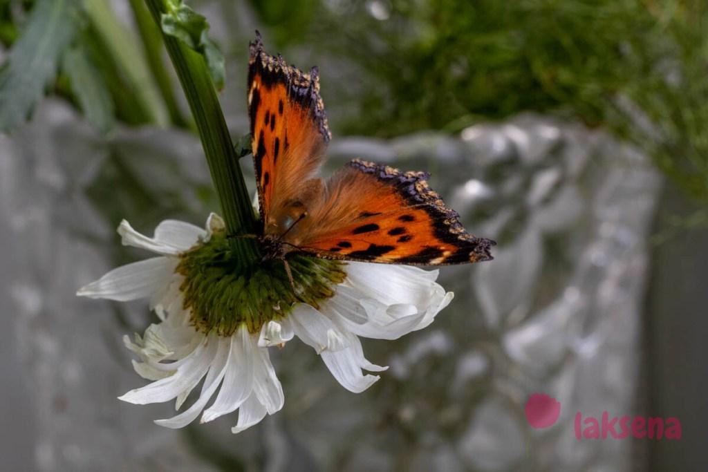 Крапивница большая, Ванесса чёрно-рыжая, или Многоцветница чёрно-жёлтая (лат. Nymphalis xanthomelas) бабочки новосибирская область сибирь
