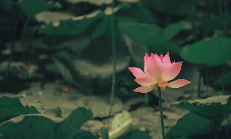 aquatic-aquatic-plant-beautiful-1171581