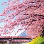 河津桜まつり(静岡)の電車での行き方は?最寄り駅からの経路や距離(時間)も調査!