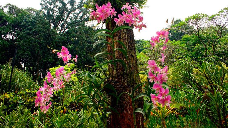 где растет орхидея в природе