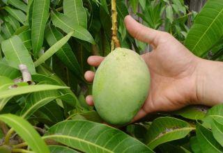 как посадить манго в домашних условиях