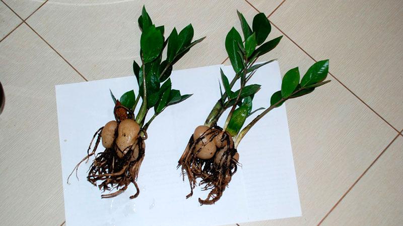 деление клубня долларового дерева