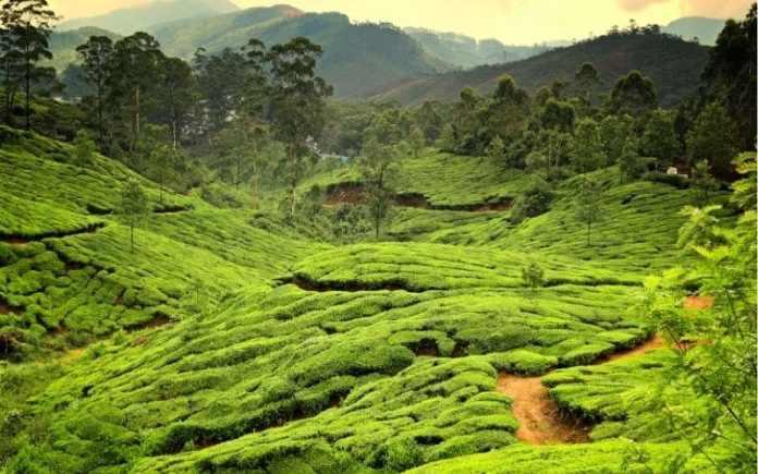 kerala tea estate