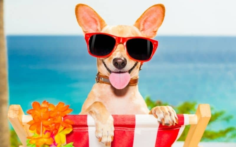 dog with glares in beach