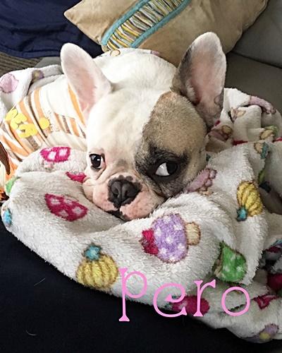愛犬ペロちゃん