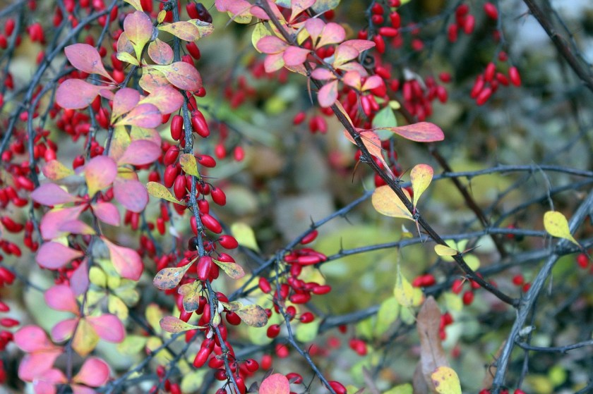 Barberry shrub
