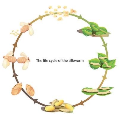 Lifecycle of a silkworm infographic