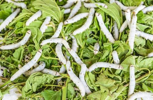 Silkworm larvae feeding on mulberry leaves