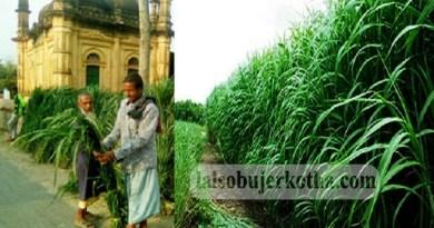তালায় বাণিজ্যিক ভিত্তিতে ঘাস চাষে সফলতার হাসি হাসছেন কৃষকরা