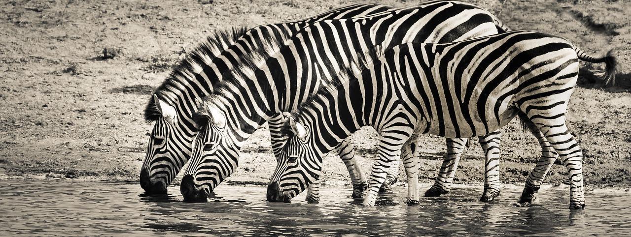 zebra 3044577 1280