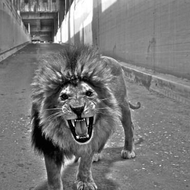 Dean Karr - Lion in Alley