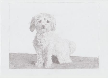 Drawing of a Maltese Dog