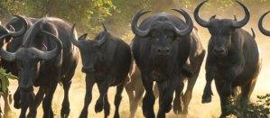 Lamai Safari - Buffalos