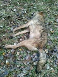 Imagen de una loba muerta obtenida de la web de Axena.org