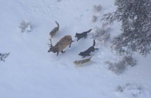 Druid wolf pack chasing bull elk; Doug Smith; December 2007