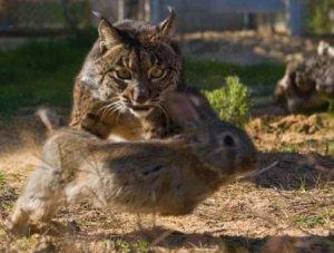 Lince persiguiendo conejo