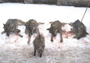 matanza de lobos (1)