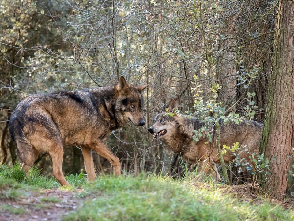 estr 233 s ambiental e intr 237 nseco en lobos en libertad la manada