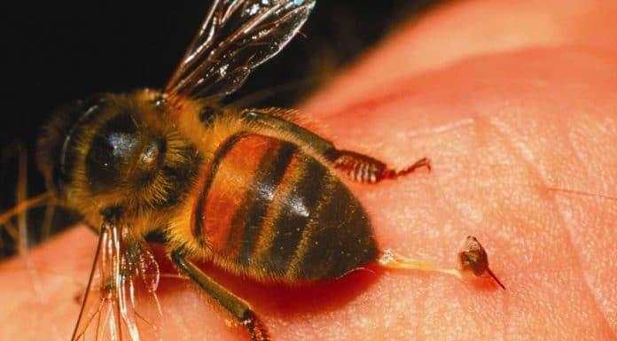 Un vecino de Villarrobledo se provocaba picaduras de avispas en el pene solo para que le succionaran el veneno