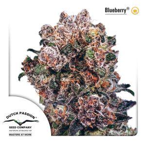 blueberry-dutch-passion