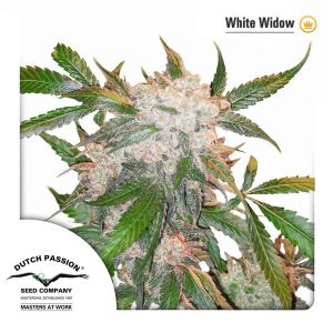 white-widow-dutch-passion