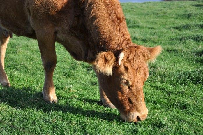 Une journée aux falaises d'Etretat - vache