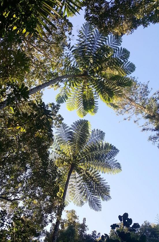 Nouvelle Calédonie - grandes fougères
