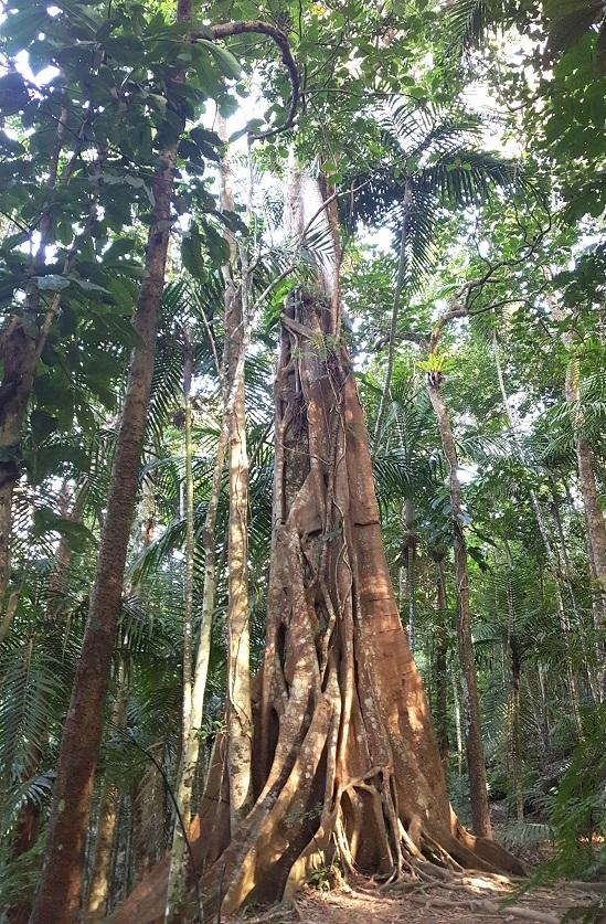 Nouvelle Calédonie - grand banian