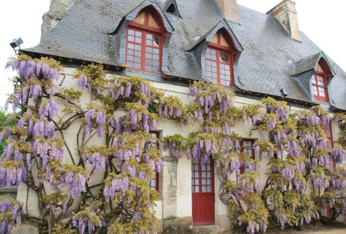 Circuit des châteaux de la Loire - glycines à Chenonceau