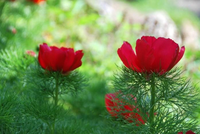 Paris au vert - fleurs du jardin alpin