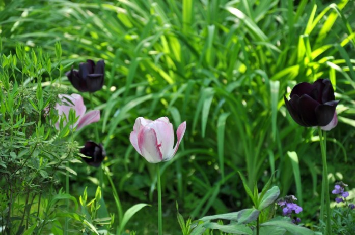 Jardin de Monet à Giverny - tulipes