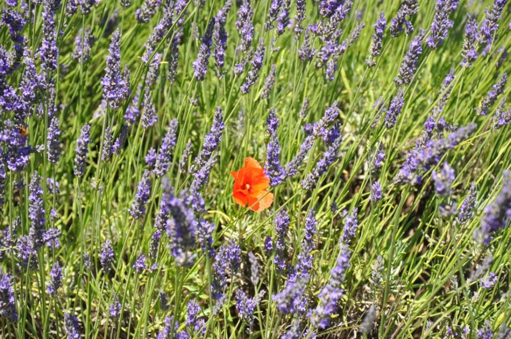 Photographier la lavande en Provence - lavande et coquelicot