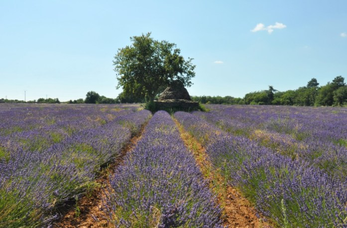 Photographier la lavande en Provence - plateau des Claparèdes