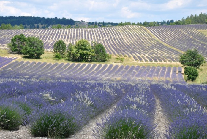 Photographier la lavande en Provence -champs blanc et bleu