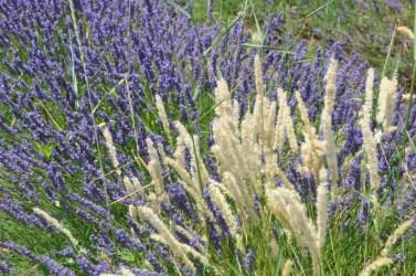 Photographier la lavande en Provence