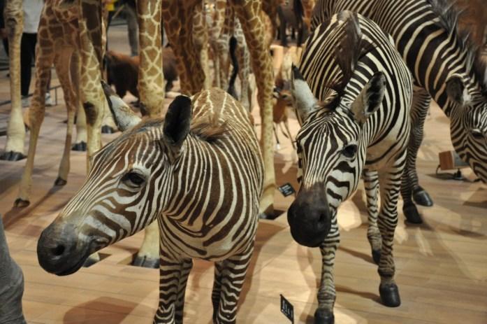 Grande galerie de l'évolution - les zèbres