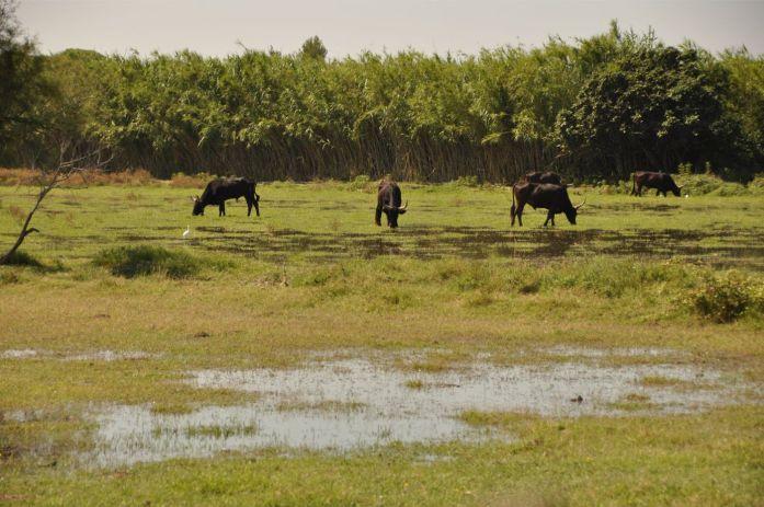 Week-end en Camargue - taureaux
