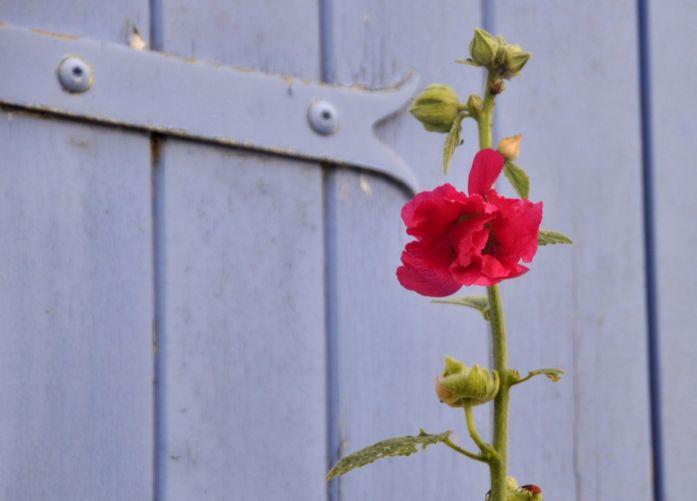 Île d'Oléron : roses tremières
