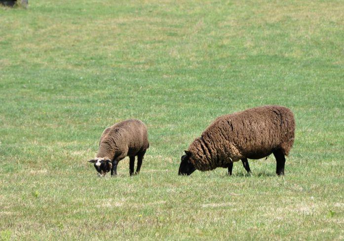 Moutons d'Ouessant - Blog La Marinière en Voyage