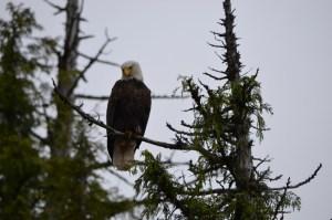 eagle - Betty took this photo near Ketcikan