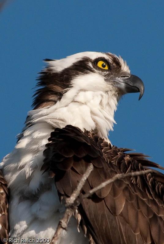 Osprey photo courtesy of Pelican Bay resident Rich Reich