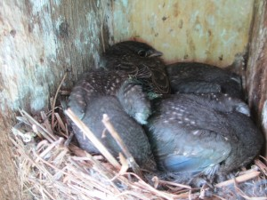Young Eastern Bluebirds (Sialia sialis) in nest box. Photo by John Benzee.