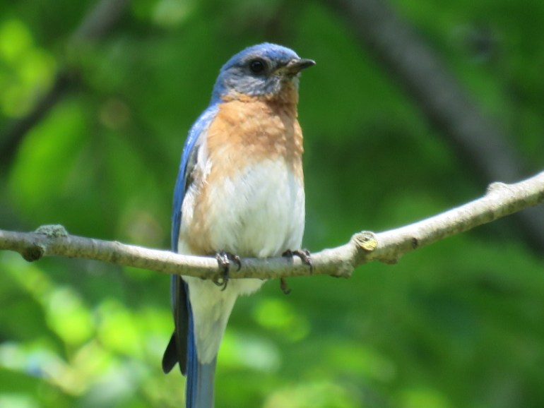 Male Eastern Bluebird © Angela T. Baron