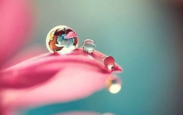 Gotas de rocío en un pétalo de rosa